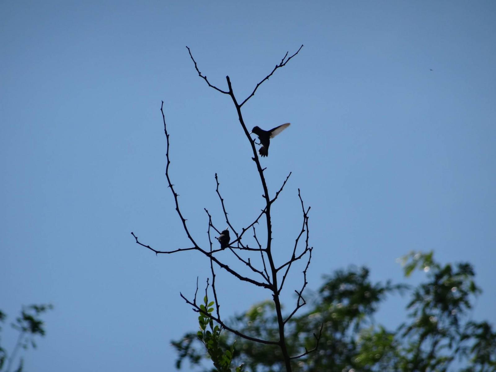 Bee Hummingbird, Cuba