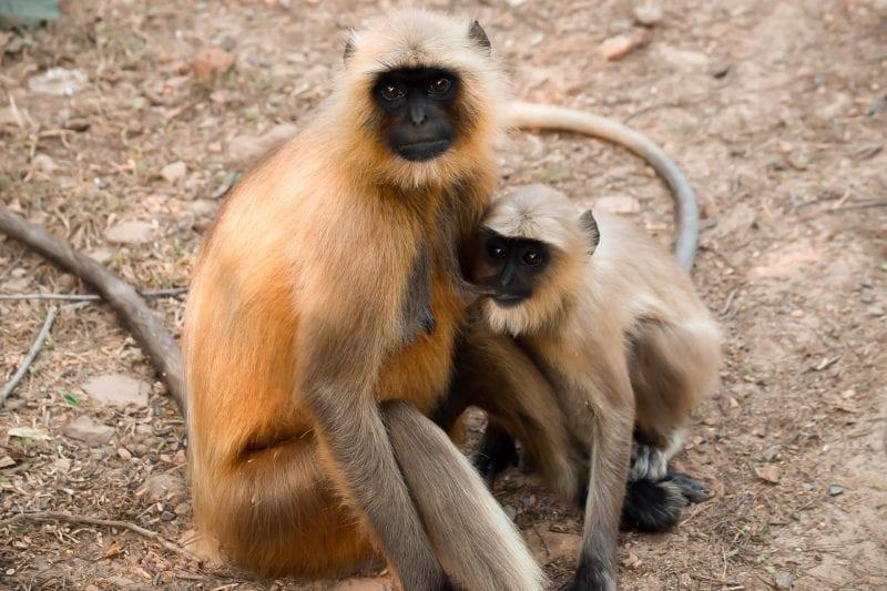 Ranthambore National Park, Indai