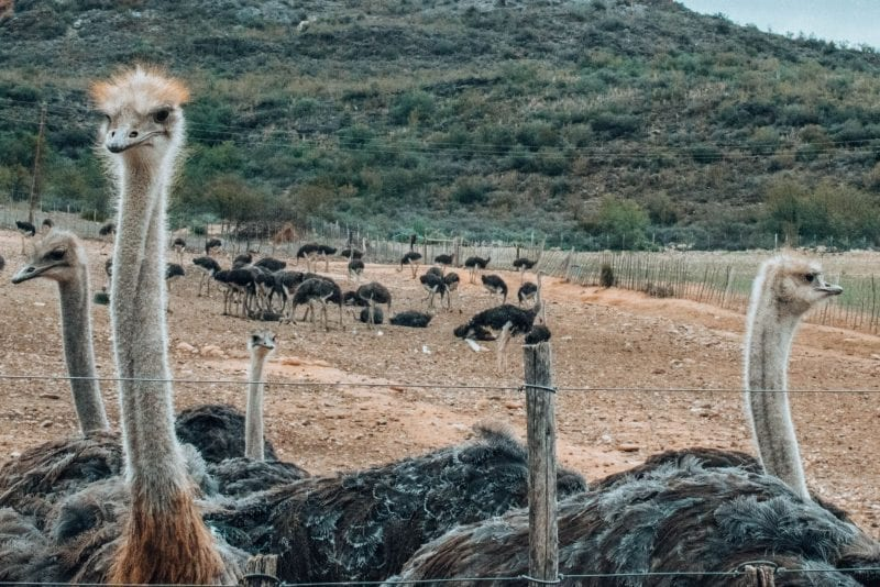 2 weeks in South Africa: Oudtshoorn Ostriches