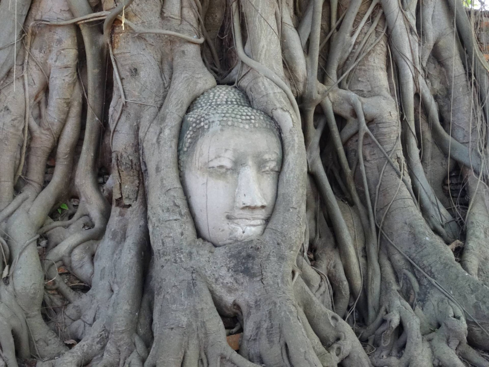 Buddha head in the tree Ayutthaya