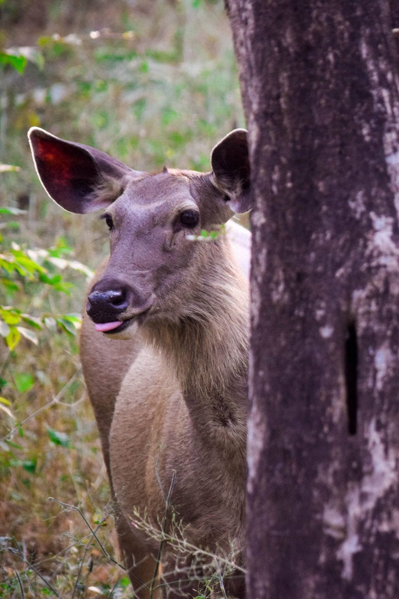 Deer in Ranthambore National Park, India