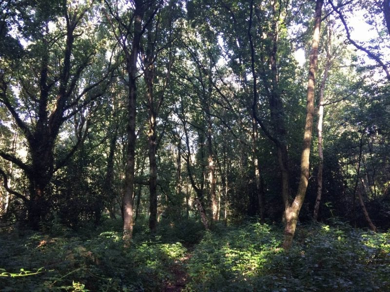 Woodland walk in Berkhamsted