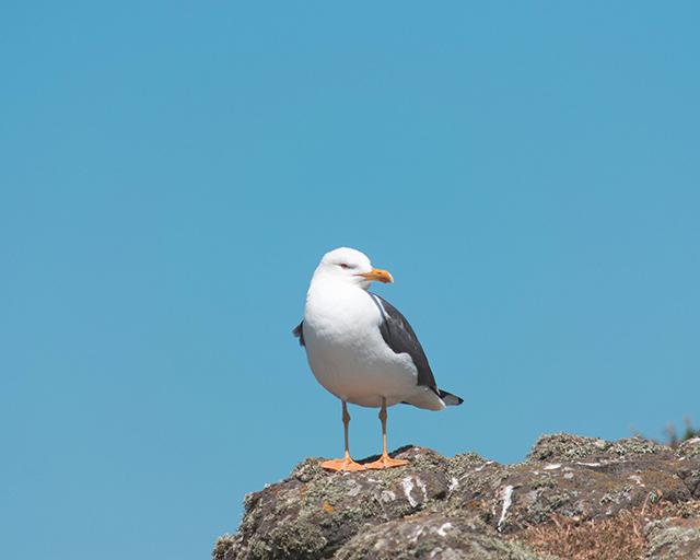 Would Be Traveller Kittiwake on Skomer Island