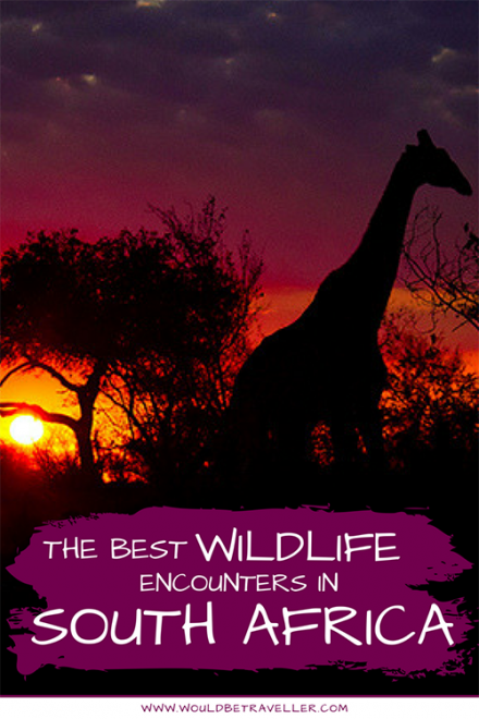 South Africa is a hotspot for incredible wildlife encounters, with the Big 5, wild dogs, vultures, giraffes and more all calling it home.