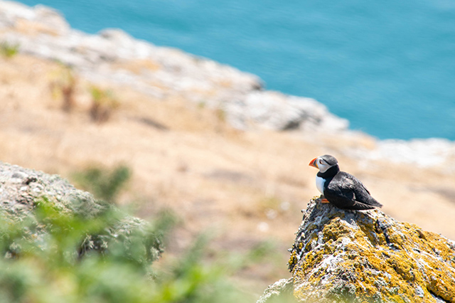 Would Be Traveller Top of the Woods Skomer Island Pembrokeshire