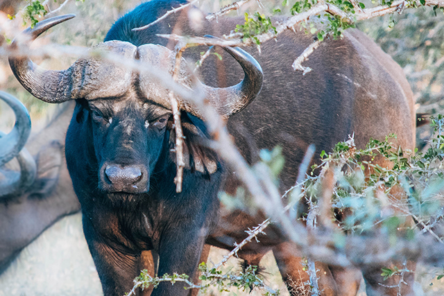 Would Be Traveller Wildlife Encounters in South Africa Buffalo
