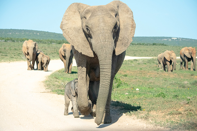 Would Be Traveller Wildlife Encounters in South Africa Elephants