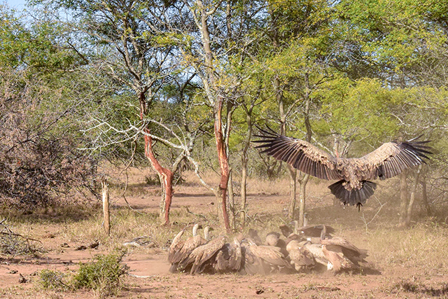 Would Be Traveller Wildlife Encounters in South Africa Vultures on a kill