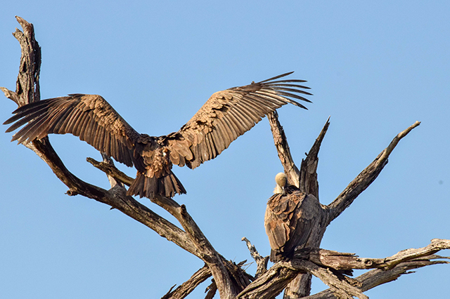 Would Be Traveller Wildlife Encounters in South Africa Vultures