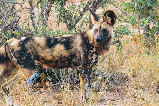 Would Be Traveller Wildlife Encounters in South Africa Wild dog
