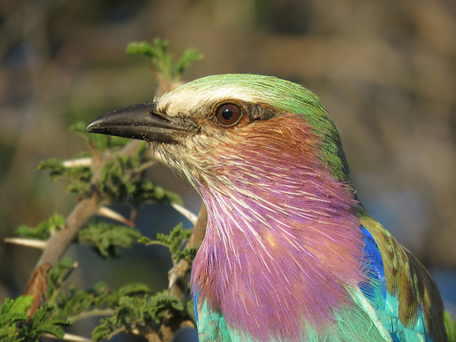 Close Up of Lilac Breasted Roller by The Silver Nomad
