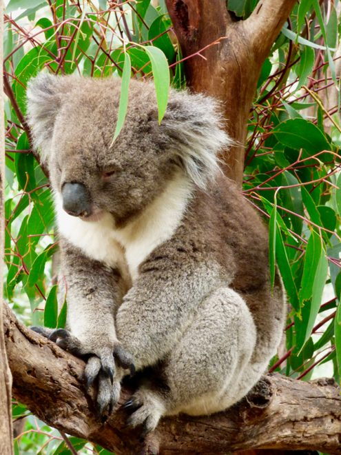 Would Be Traveller Unusual wildlife destinations Koalas in Australia