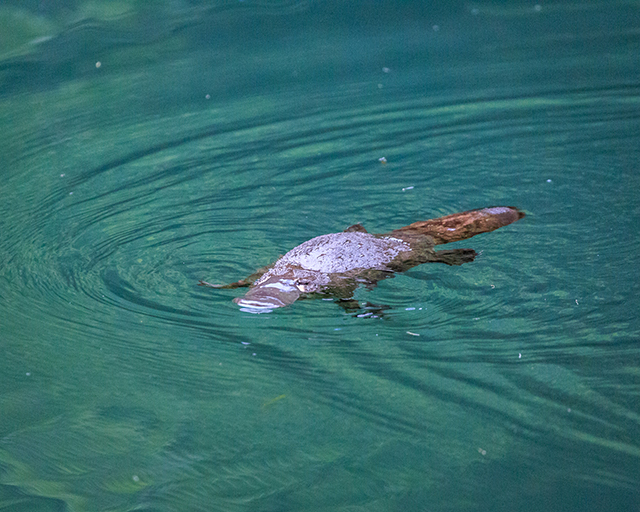 Would Be Traveller unusual wildlife destinations duck-billed platypus in Australia
