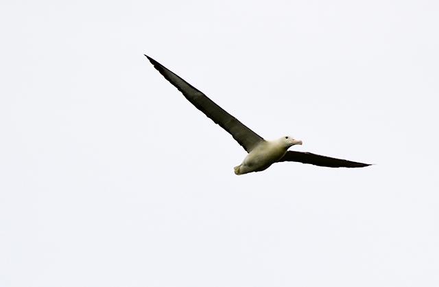 Would Be Traveller unusual wildlife destinations royal albatross new zealand