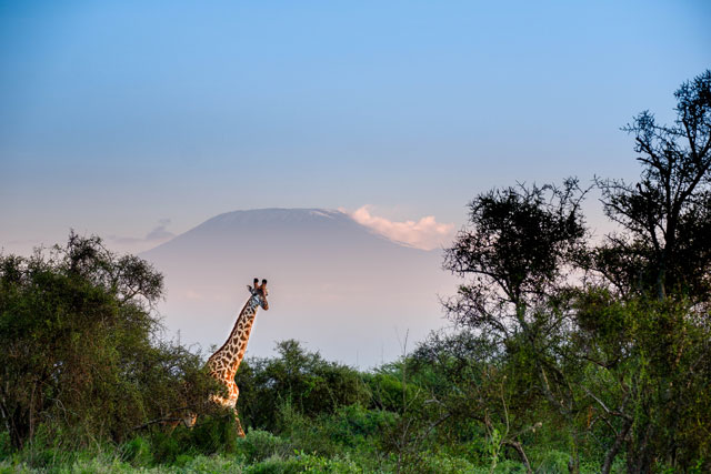 Giraffe in front of Kilimanjaro in Amboseli National Park