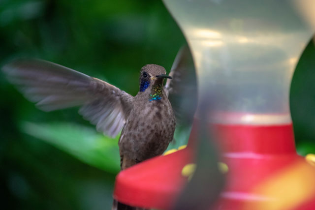 Hummingbirds in Selvatura Park